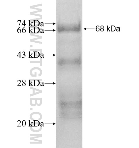 RB1CC1 fusion protein Ag10528 SDS-PAGE