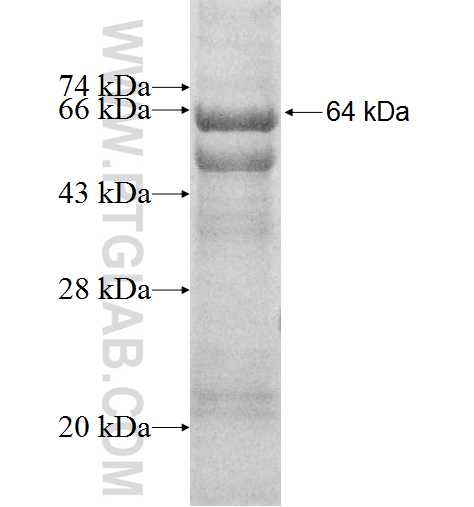 RIN1 fusion protein Ag9451 SDS-PAGE