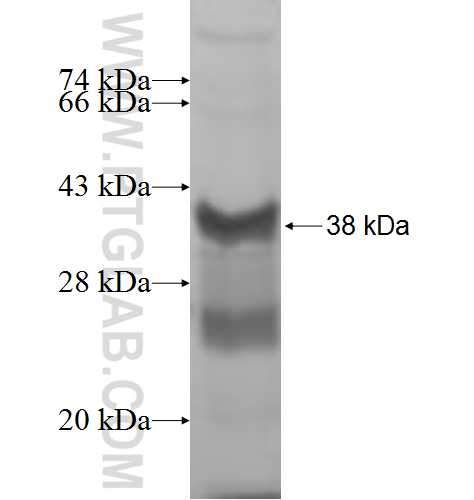 RPL5 fusion protein Ag7673 SDS-PAGE