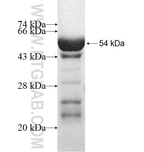 RPL8 fusion protein Ag9957 SDS-PAGE