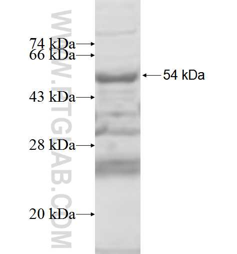RPS6KA2 fusion protein Ag5862 SDS-PAGE
