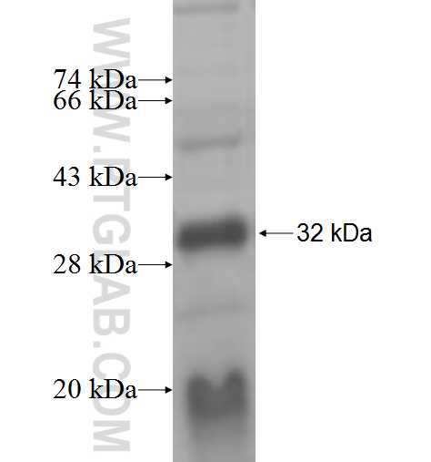 RXRB fusion protein Ag6311 SDS-PAGE