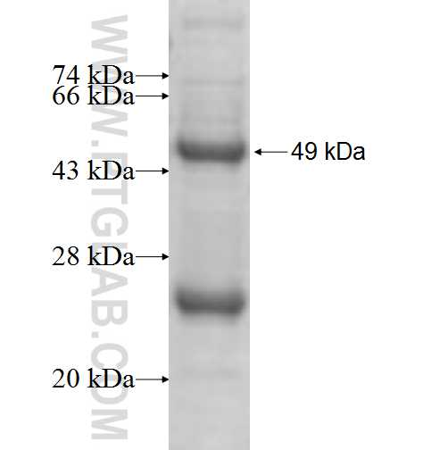 SDS fusion protein Ag9704 SDS-PAGE