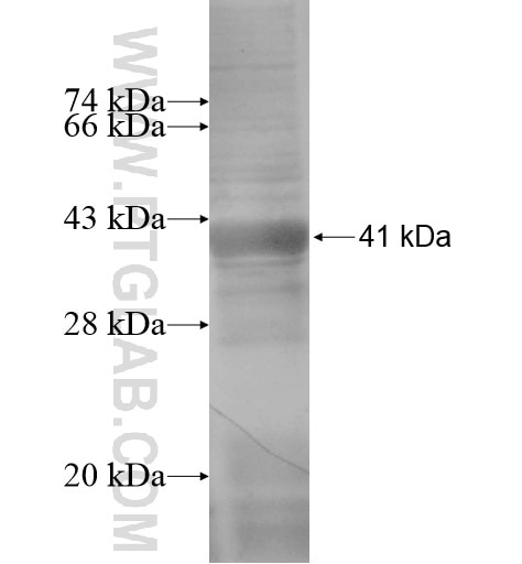 SEC23A fusion protein Ag13641 SDS-PAGE