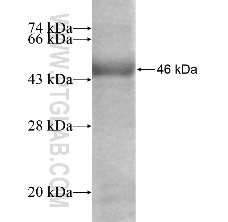 SEH1L fusion protein Ag7795 SDS-PAGE