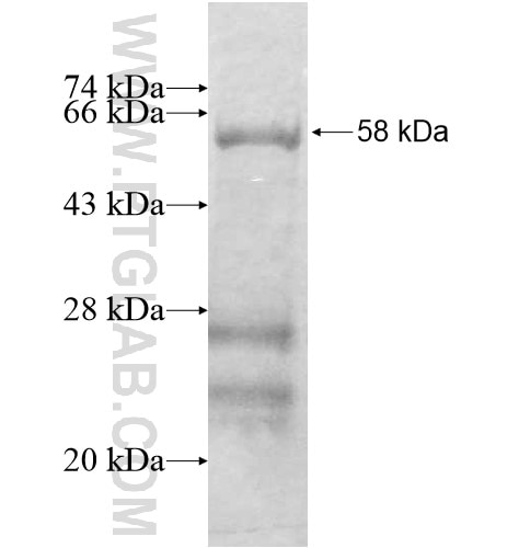 SGCG fusion protein Ag12586 SDS-PAGE