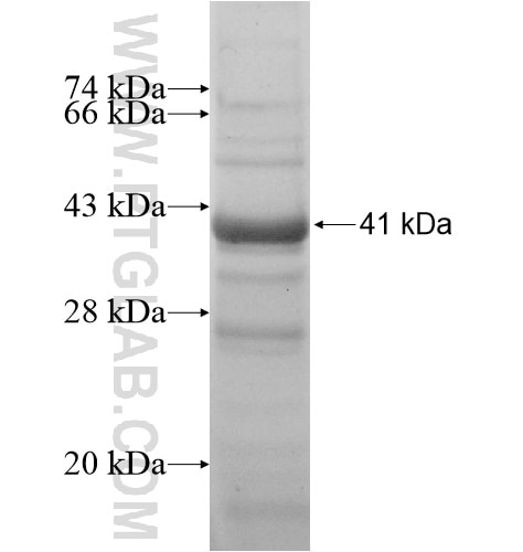 SH3BP4 fusion protein Ag11957 SDS-PAGE