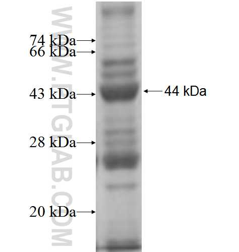 SHMT1 fusion protein Ag5833 SDS-PAGE