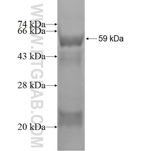 SHMT2 fusion protein Ag1584 SDS-PAGE