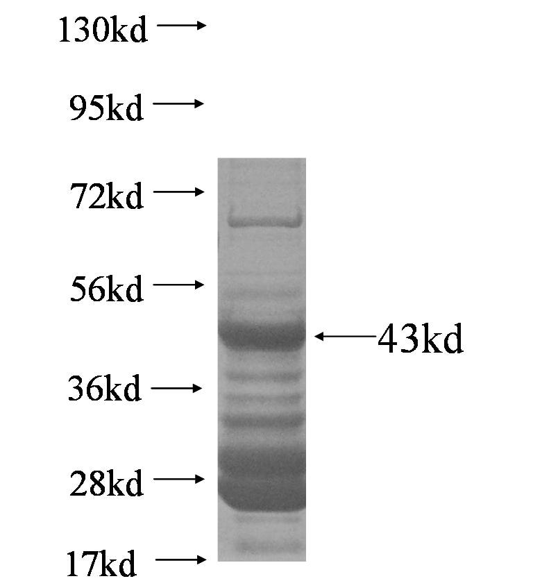 SIN3A fusion protein Ag6219 SDS-PAGE