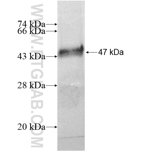 SLC26A7 fusion protein Ag11901 SDS-PAGE