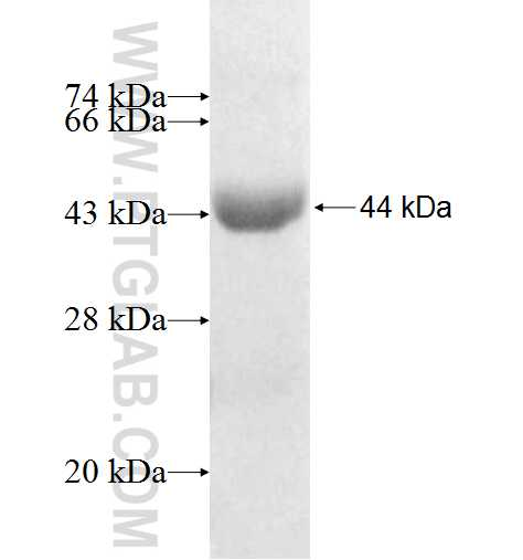 SLC3A1 fusion protein Ag10054 SDS-PAGE