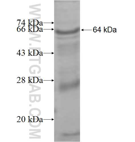 SLC3A1 fusion protein Ag9525 SDS-PAGE