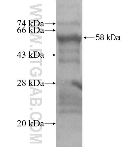 SMA fusion protein Ag15611 SDS-PAGE