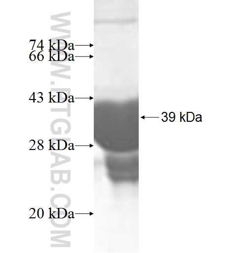 SNCG fusion protein Ag9493 SDS-PAGE
