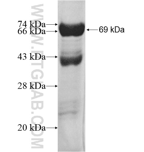 SNX5 fusion protein Ag12330 SDS-PAGE