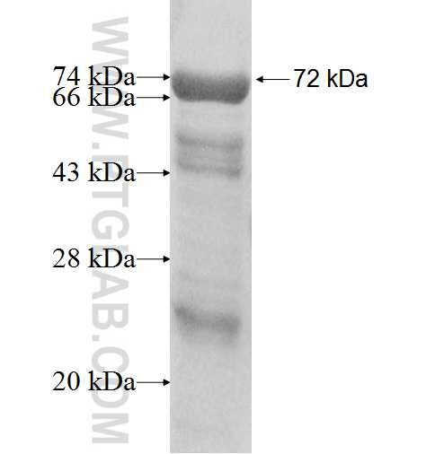 SOX5 fusion protein Ag4092 SDS-PAGE