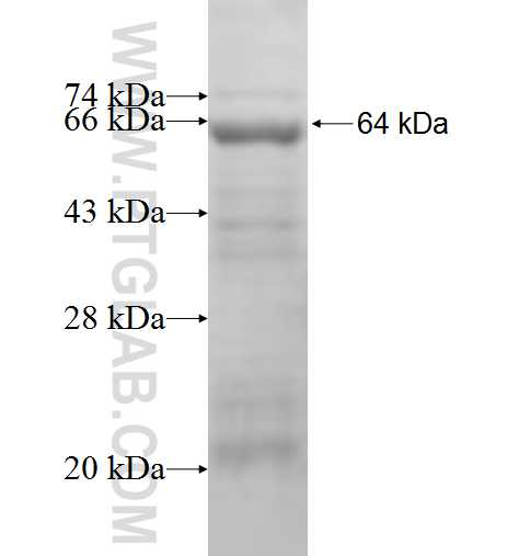 STXBP1 fusion protein Ag1978 SDS-PAGE