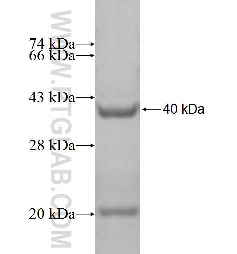 SUB1 fusion protein Ag2559 SDS-PAGE