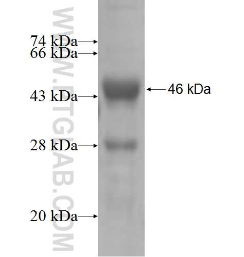 SUCLG2 fusion protein Ag5495 SDS-PAGE