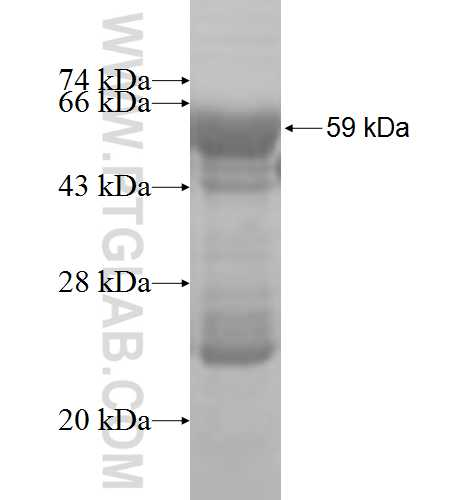 SURF1 fusion protein Ag3959 SDS-PAGE