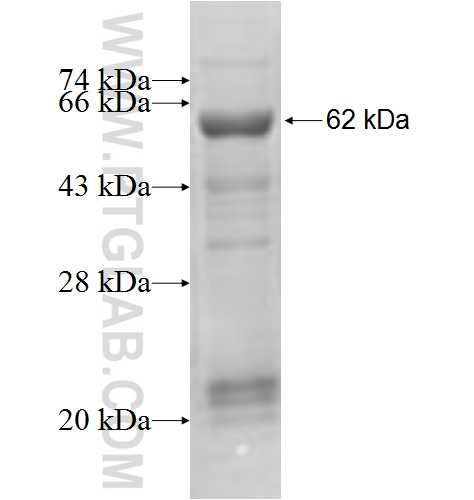 TARS fusion protein Ag6614 SDS-PAGE