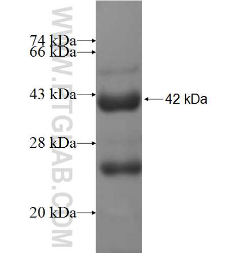 TARS fusion protein Ag6959 SDS-PAGE