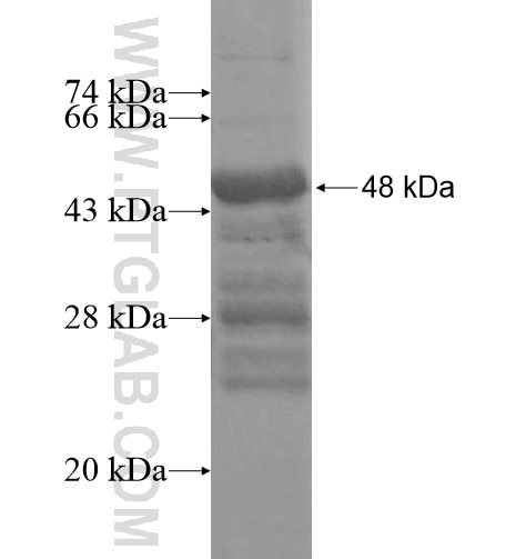 TBC1D22B fusion protein Ag16115 SDS-PAGE