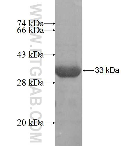 TBCB fusion protein Ag8616 SDS-PAGE