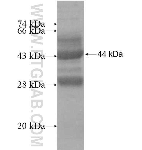 TCEAL2 fusion protein Ag12374 SDS-PAGE