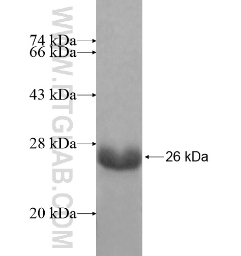 TCEAL8 fusion protein Ag11606 SDS-PAGE