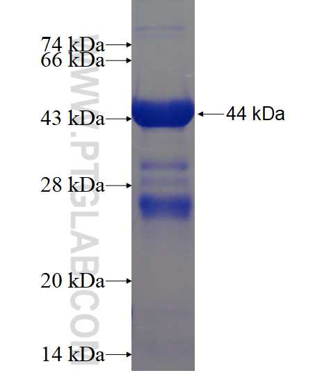 TCF3 fusion protein Ag15734 SDS-PAGE