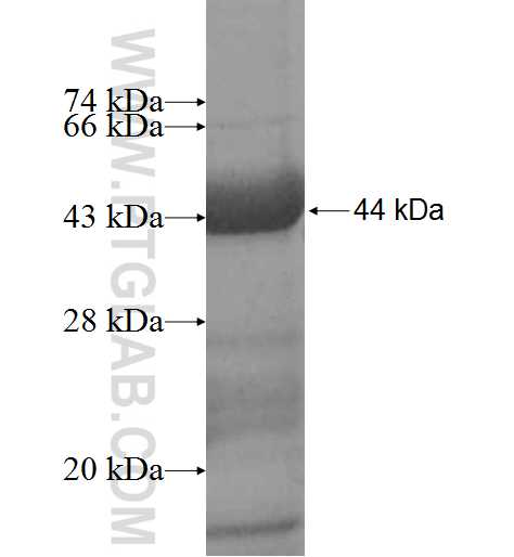 TCN1 fusion protein Ag9087 SDS-PAGE