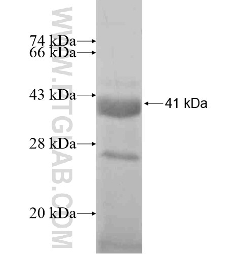 TF fusion protein Ag11668 SDS-PAGE