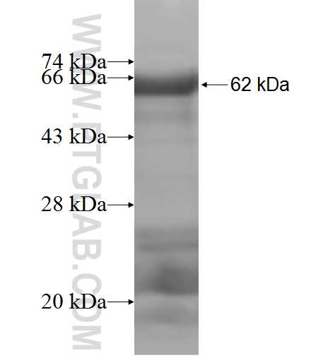 THBD fusion protein Ag5558 SDS-PAGE