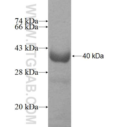 TNPO3 fusion protein Ag8976 SDS-PAGE