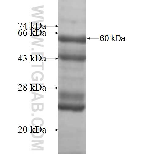 TOMM40L fusion protein Ag9401 SDS-PAGE