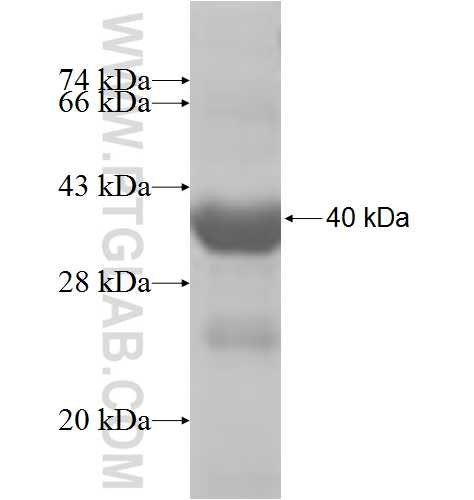 TRADD fusion protein Ag7768 SDS-PAGE