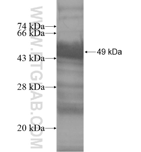 TXNDC12 fusion protein Ag14045 SDS-PAGE