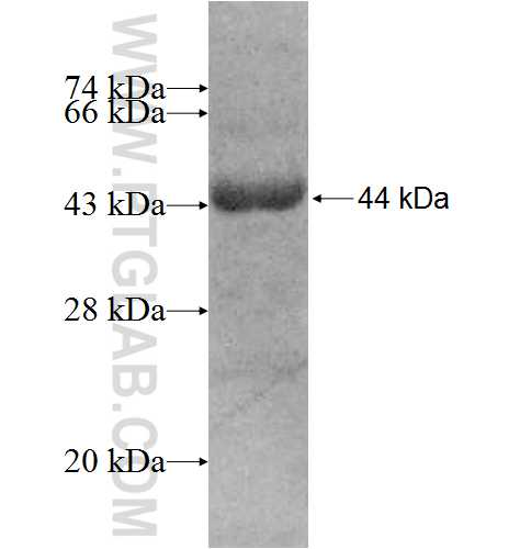 UBA7 fusion protein Ag8692 SDS-PAGE