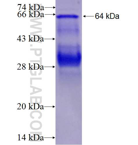 UBE1 fusion protein Ag8703 SDS-PAGE