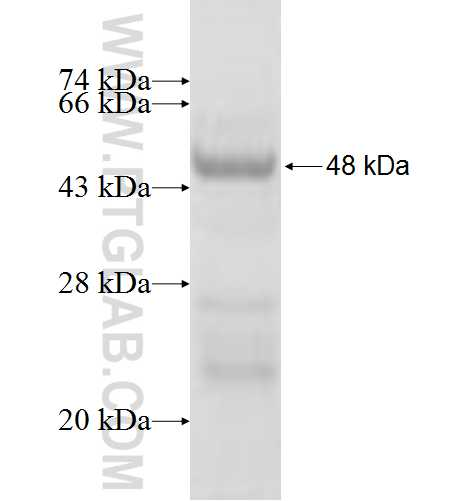 ULBP2 fusion protein Ag3798 SDS-PAGE