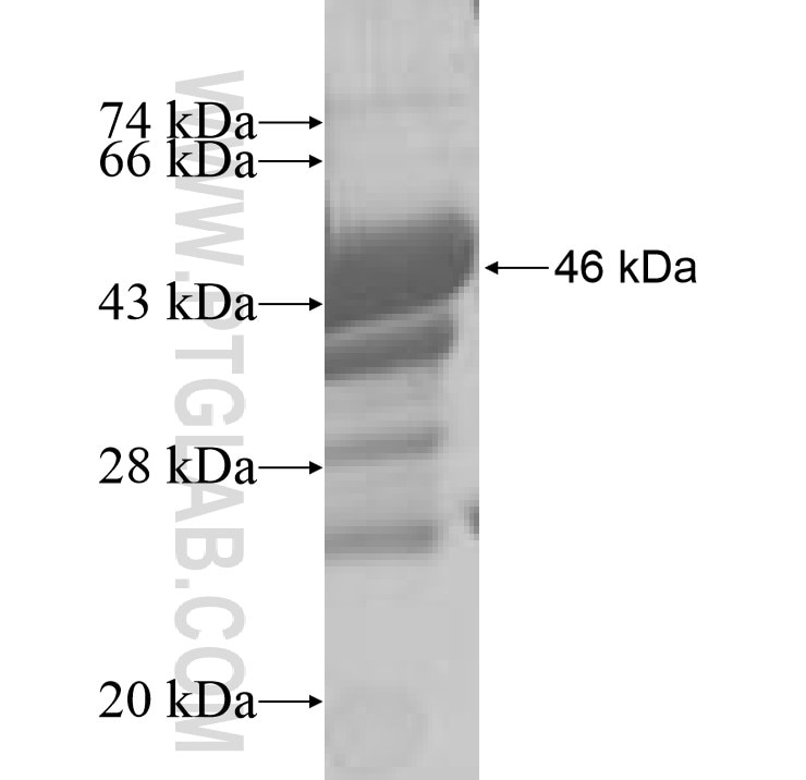 VIP fusion protein Ag8933 SDS-PAGE