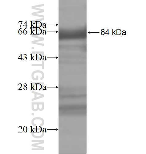 VTA1 fusion protein Ag8485 SDS-PAGE