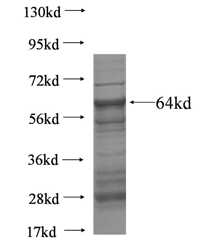 WEE1 fusion protein Ag5751 SDS-PAGE