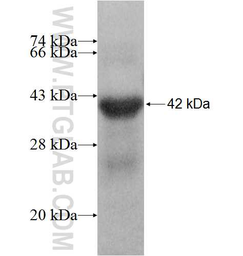 ZPBP fusion protein Ag8577 SDS-PAGE