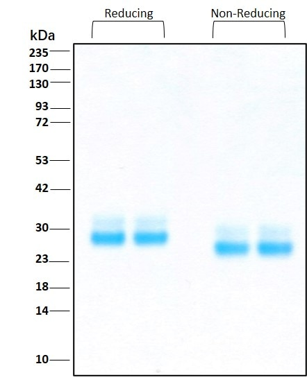 Purity of GMP-grade recombinant human FLT3 Ligand was determined by SDS- polyacrylamide gel electrophoresis. The protein was resolved in an SDS- polyacrylamide gel in reducing and non-reducing conditions and stained using Coomassie blue.