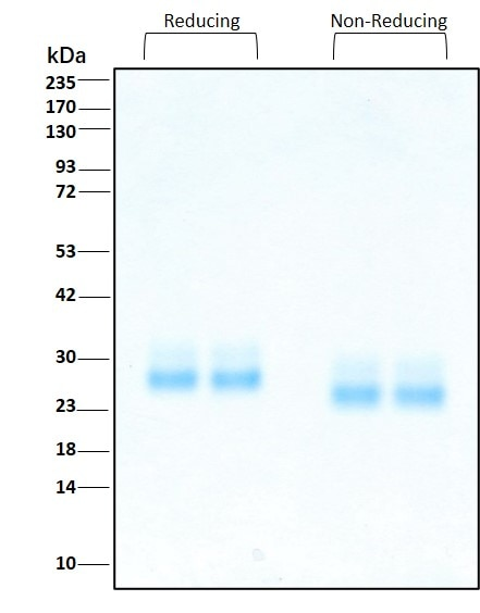 Purity of  recombinant human FLT3 Ligand was determined by SDS- polyacrylamide gel electrophoresis. The protein was resolved in an SDS- polyacrylamide gel in reducing and non-reducing conditions and stained using Coomassie blue.